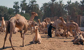 Half day visit to Camel Market of Darau